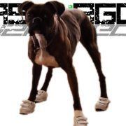boxer-dog-walks-in-shoes[1]